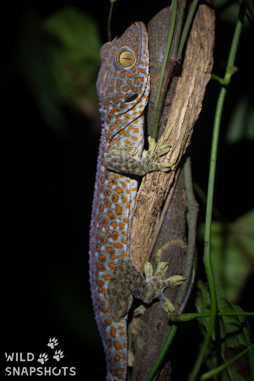 The beautifully patterned Tokay gecko is illegally trafficked for unsubstantiated 'medicinal pursposes' - Photo by Jono Dashper.